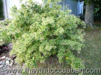 Hình ảnh cây Dạ hương