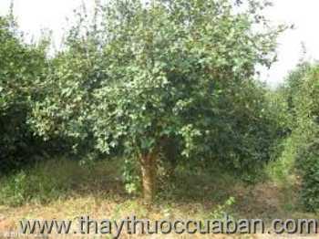 Hình ảnh cây Dầu rái