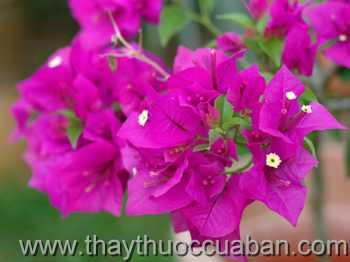 Hình ảnh hoa Giấy