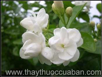 Hình ảnh hoa nhài