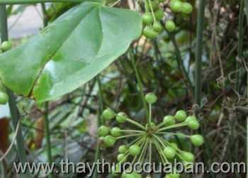Hình ảnh cây Khúc khắc