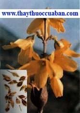 liên kiều, lien kieu, lienkieu - vị thuốc,Forsythia suspensa Vahl. Họ Nhài (Oleaceae).