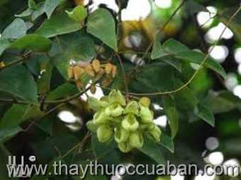 Hình ảnh cây Mắc kẹn