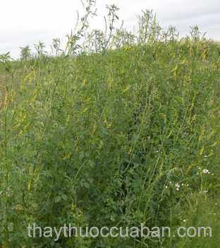 Hình ảnh cây nhãn hương