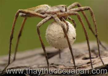 Hình ảnh nhện ôm trứng