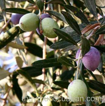 Hình ảnh cây Ô liu