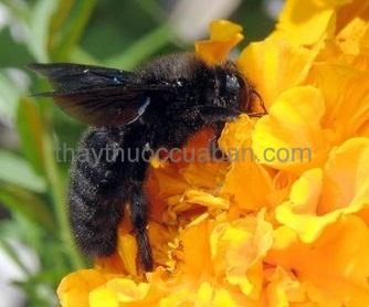 Hình ảnh con Ong đen