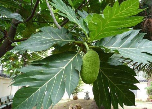 Hình ảnh cây thuốc Sa kê