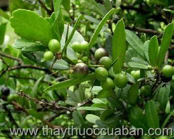 Hình ảnh cây Tầm Xoong