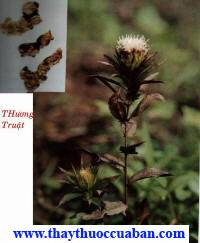Thương truật, xương truật, thuong truat, xuong truat, mao truật, mao truat,Atractylodes lancea (Thunb.) DC - Họ Cúc (Asteraceae).