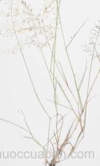 Cây Tinh thảo