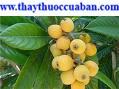 Cây tỳ bà (tỳ bà diệp), Eriobotrya japonica Lindl, Folium Eriobotryae