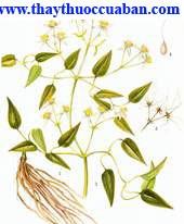 Hình ảnh uy linh tiên, Clematis Chinensis Osbeck