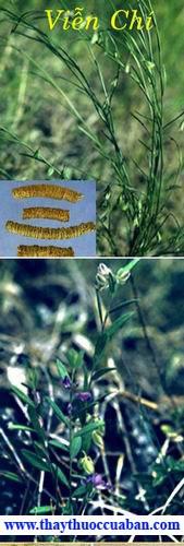 Viễn trí, vien tri, vientri, khổ viễn chí, kho vien chi, Polygala tenuifolia Willd- Họ Viễn chí (Polygalaceae).