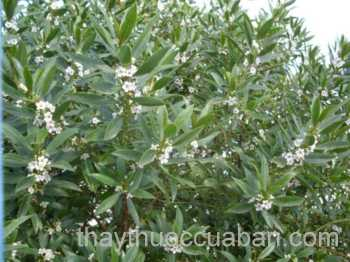 Hình ảnh cây Vót thơm