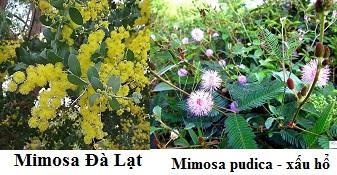 Hình ảnh cây xấu hổ (Mimosa pudica L) và cây Mimosa Đà Lạt