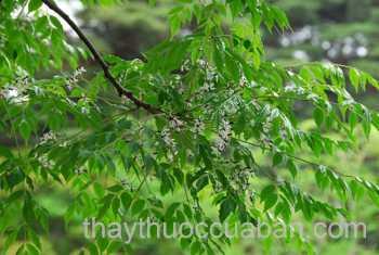 Hình ảnh cây Xoan