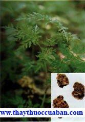 Hình ảnh cây thuốc xuyên khung